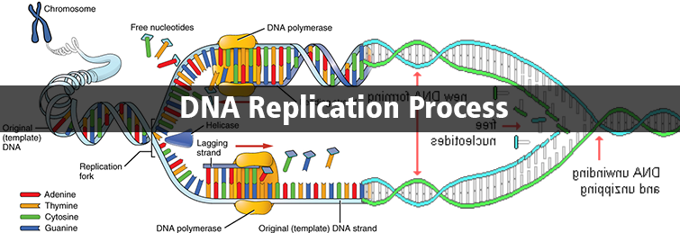 dna replication process steps