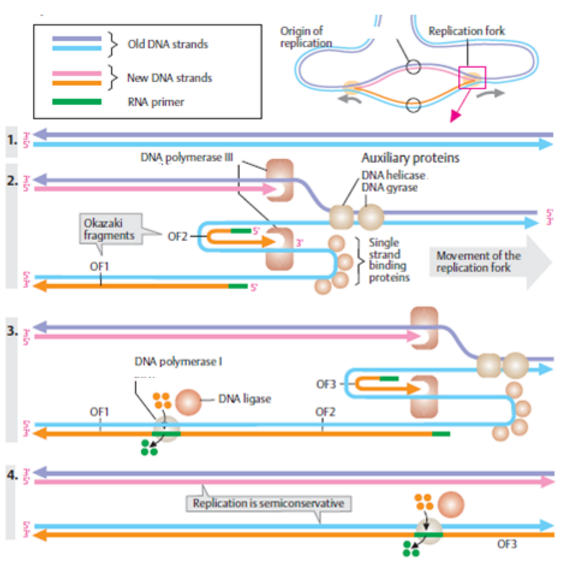 DNA Replication Process- EssayCorp