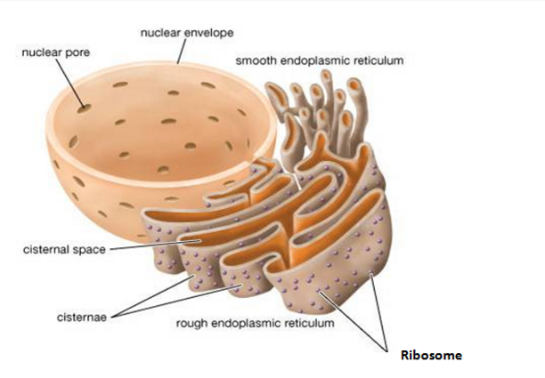 Endoplasmic Recticulum- EssayCorp