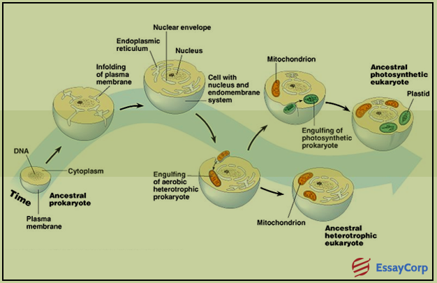 eukaryotic organelles essay Eukaryotic cells have internal membranes around their nuclei and organelles  and cytoskeletons plant cells also have cell walls, but these are not present in.