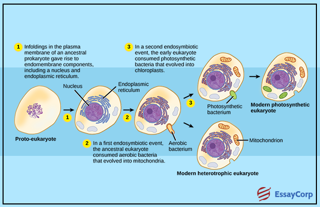the endosymbiotic theory of eukaryotic cells Free essay: endosymbiosis endosymbiosis is the theory that eukaryotic cells were formed when a prokaryotic cell ingested some aerobic bacteria the first.